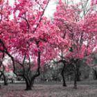 Se chauffer avec du cerisier ?