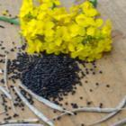 Le colza pour produire du biofioul