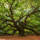 Le chêne possède des caractéristiques intéressantes en tant que combustible
